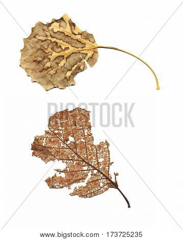 Dead and decaying leaves on white background