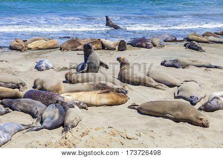 Sealions at the beach near San Simeon