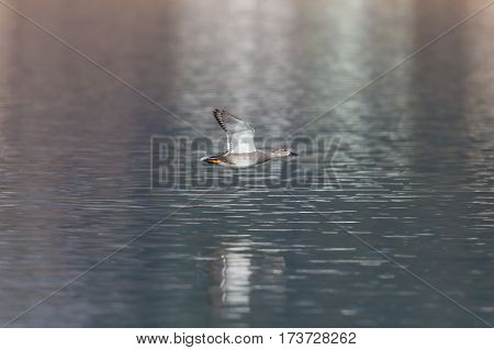 male gadwall duck (Anas strepera) flying over water surface