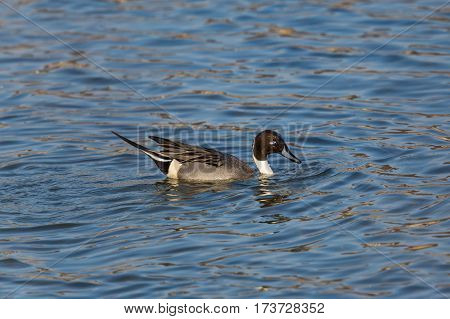 male northern pintail (Anas acuta) swimming in blue water and sunlight