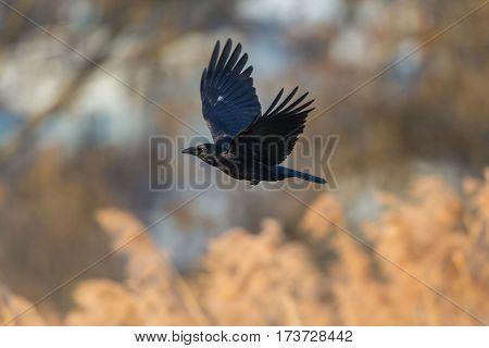 carrion crow (Corvus corone) flying over reed