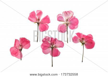 Pressed and dried pink delicate transparent flowers geranium (pelargonium) isolated on white background. For use in scrapbooking floristry (oshibana) or herbarium.