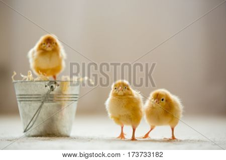 Little cute baby chicks in a bucket playing at home yellow newborn baby chicks