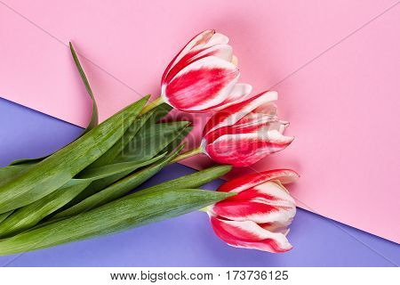 Tulips on pastel backdrop. Getting flowers for no reason.