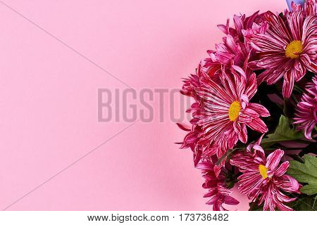 Chrysanthemums on pink backdrop. Wishing a special women's day.