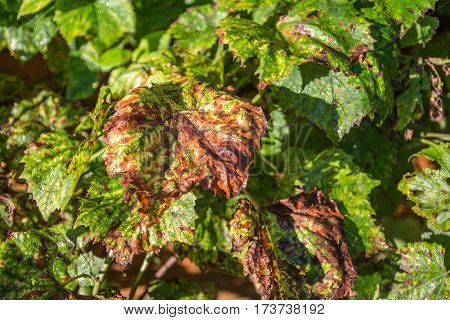 Wilted Grape Leaves. Close-up View. Sunny Autumn Day.