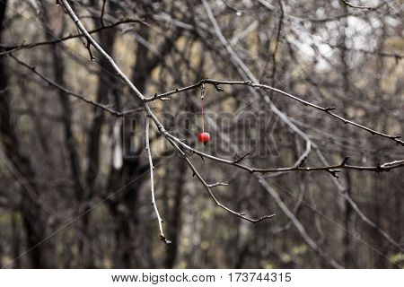 Last rowan berry in autumn forest without leaves.