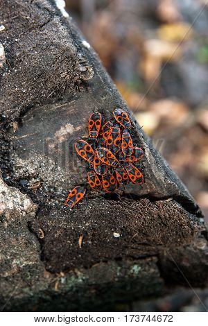 Colony of firebugs also known as pyrrhocoris apterus on a tree trunk Moss and fungus growing on the old tree.