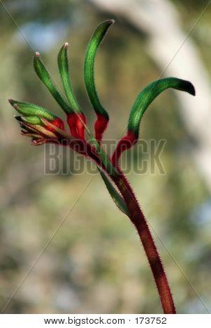 Flowers  Kangaroo Paw