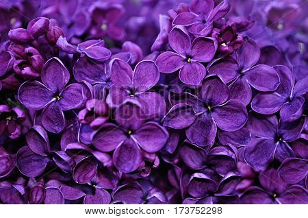 Summer background - blooming lilac flowers in summer garden. Closeup of summer lilac flowers in the summer garden - summer background with blooming summer lilac flowers