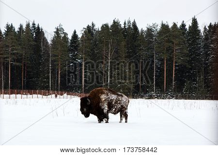 Panorama with bison in snowy winter outdoors. Rare cow Buffalo in the natural environment of the North. Endangered species protected by the people.