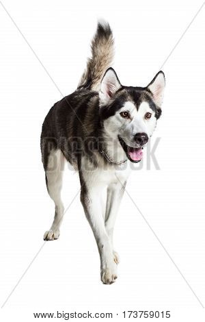 Alaskan Malamute standing, sticking the tongue out, isolated on white. Husky