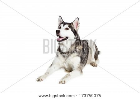 Alaskan Malamute lying on the floor, sticking the tongue out, isolated on white. Husky