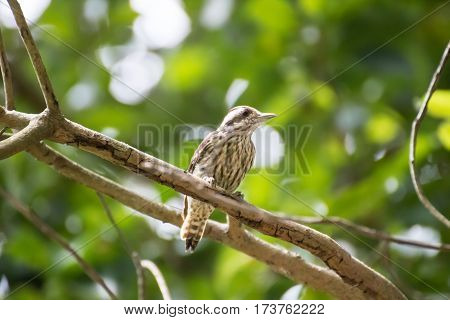 Pygmy woodpecker find the insect on a tree