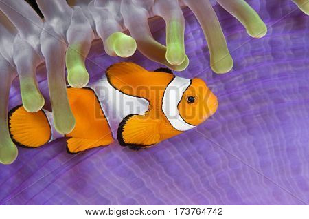 Clownfish, Amphiprion ocellaris, hiding in host sea anemone Heteractis magnifica, Komodo Island, Indonesia, Indo-Pacific.