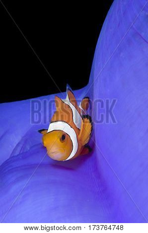 Clownfish, Amphiprion ocellaris