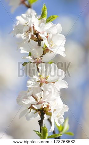 Branch of cherry in blossom with white flowers on blue sky vertical orientated image.