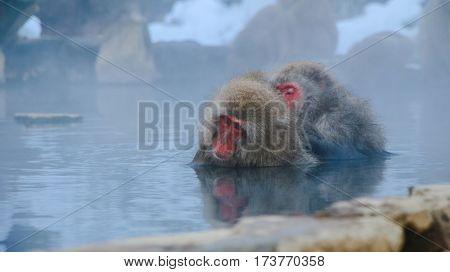 Japanese Snow monkey Macaque in hot spring Onsen Jigokudan Park Nakano Japan