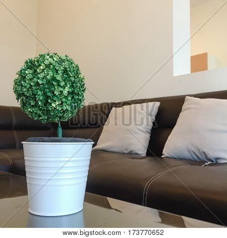 The little tree of Dracaena braunii in the white ceramic pot on the wooden table with the chair background.