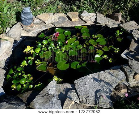 waterlily pond with green lily pads and goldfish