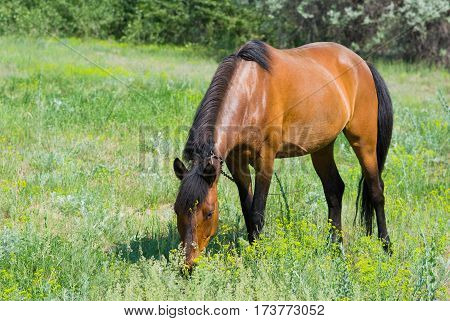 Chestnut horse (mare) on a spring pasture.