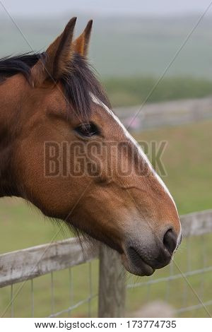 photo of a beautiful chestnut pony leaning over a fence