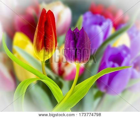 Close up view of Spring Tulips on a diffused background.