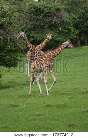 photo of three Rothschild Giraffe with trees in the back ground