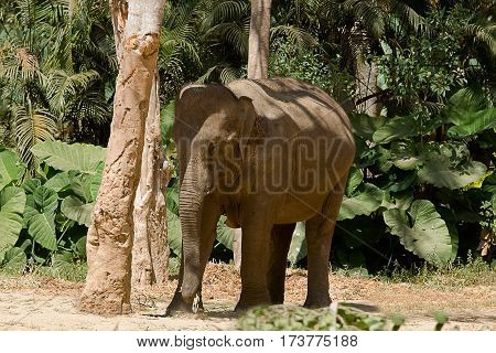 photo of an Asian Elephant standing behind a tree on a sunny day in India