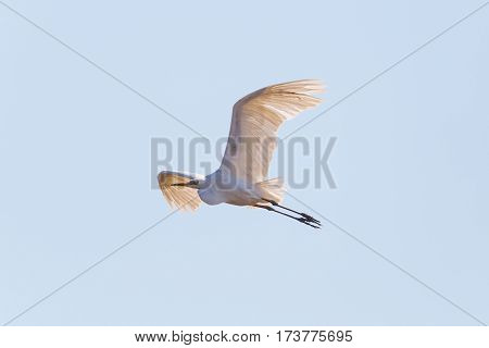 great white egret (Egretta alba) during flight in blue sky with backlight