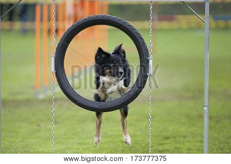 Dog jumping through agility hoop. His look is attentive and carefully listen to abide next command.