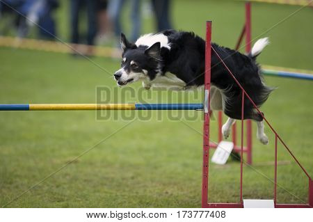 Dog sport. Athletic dog doing turn in the air. Border Collie is competing on agility competition he is very fast and thorough in he's work.