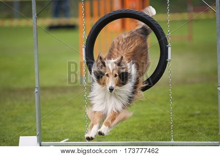 Beautiful dog in motion. Rough Collie jump through agility hoop he is in long jump landing on grass.