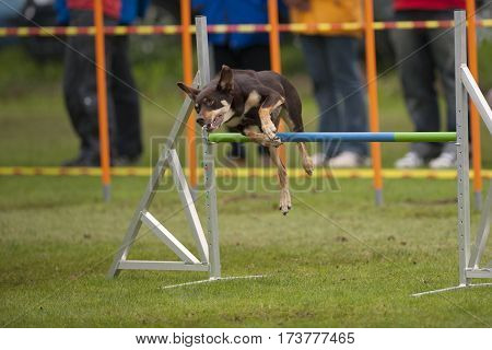 Dog jumping over obstacle in agility competition. He is in funny position and doing his best to be successful. He is very well trained dog. Purebred The Australian Kelpie.