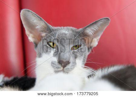 Modern gray pure breed Siamese cat