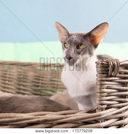 Modern gray mottled pure breed Siamese cat