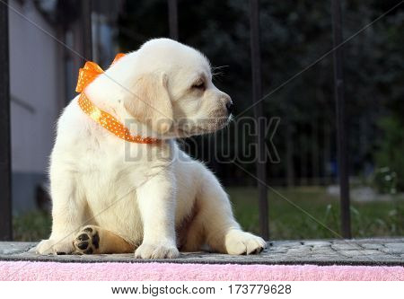 A Little Cute Labrador Puppy On A Pink Background