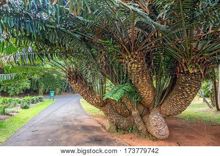 Lush Mombasa cycad tree or Encephalartos hildebrandtii