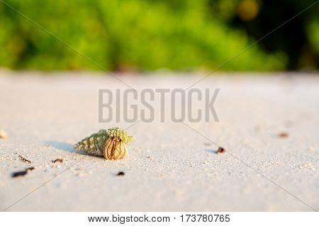 tiny hermit crab travelling around the beach