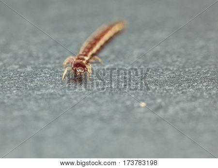 Rove Beetle Portrait