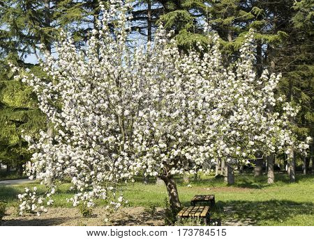 Spring landscape apple tree in blossom recorded in Saint Constantine and Helen resort Bulgaria.
