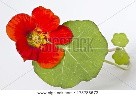 Nasturtium flower with leaves on white background