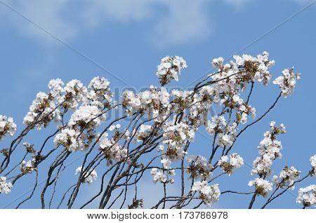 Malus Flower