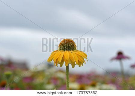 Echinacea Flower In Field