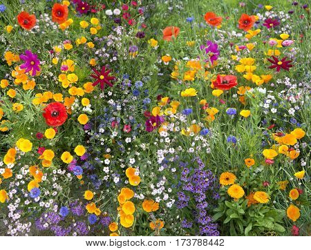 Wild Flower Mix With Poppies