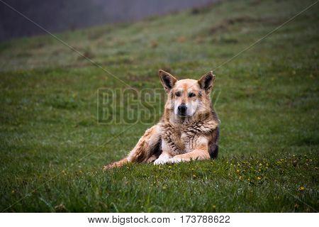 herding dog lie on a hillside spring morning