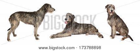 Photo collage of Irish wolfhound dog studio shot on white background