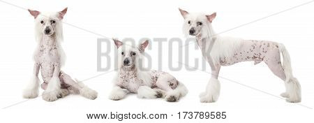 Photo collage of Hairless Chinese Crested dog studio shot on white background