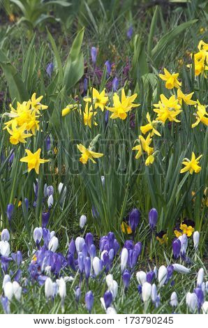 Daffodil (narcissus Sp.) Is Mostly Spring-flowering, Bulbous Perennial