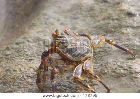 Tropical Crab 2